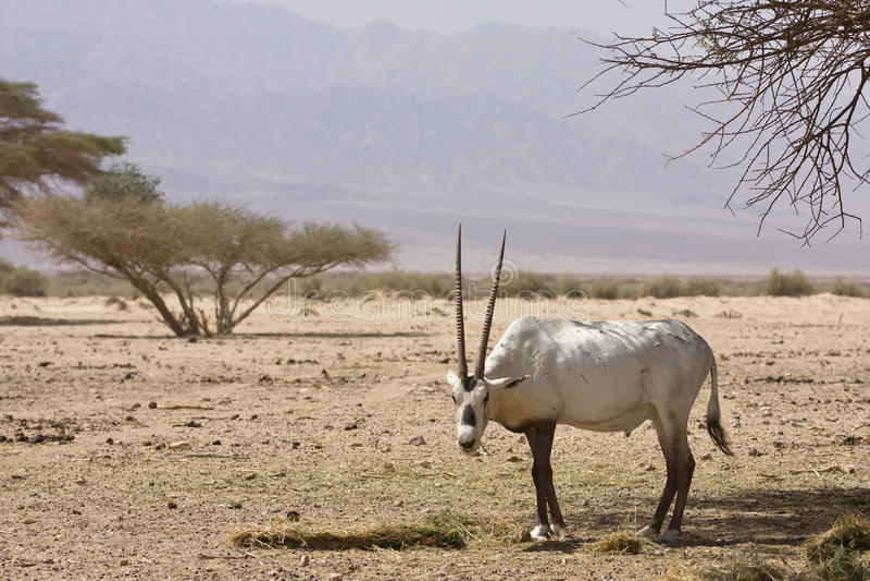 Arabian oryx antelope stock photography