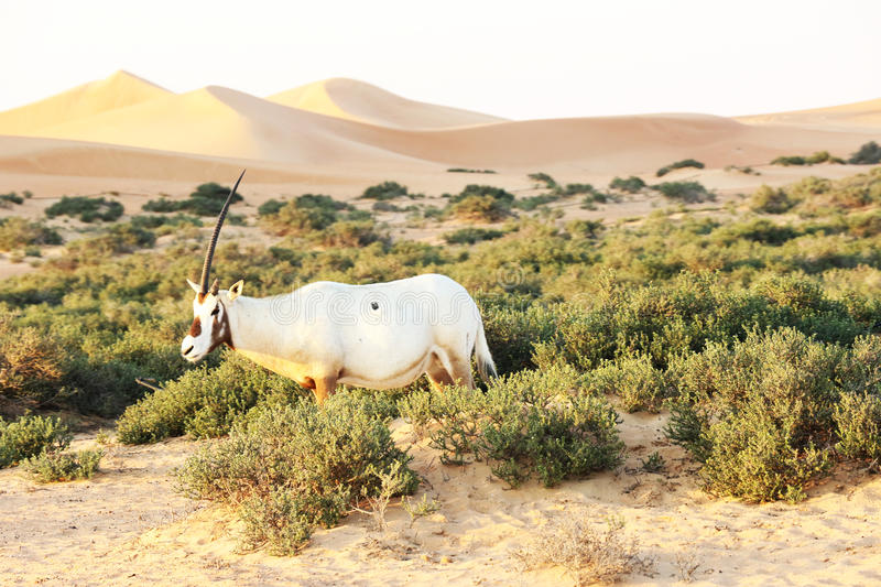 Arabian oryx in the desert, Dubai royalty free stock photos