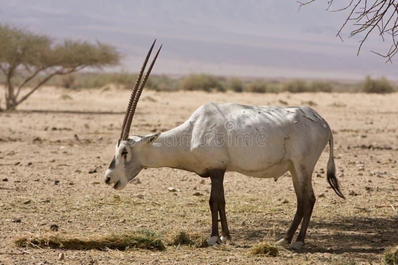 Arabian oryx eating royalty free stock images