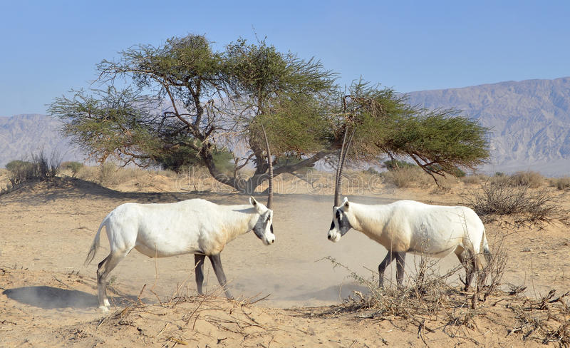 Download Arabian Oryx (Oryx Leucoryx) Stock Photo - Image: 22388374