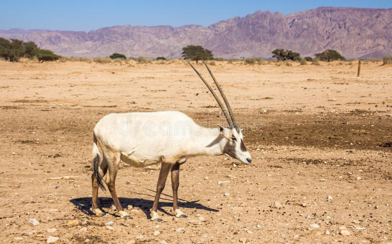 Arabian Oryx Oryx leucoryx a genus of Antelope species, an endangered animal in the `Hay-Bar` Yotvata Nature Reserve Israel. Arabian Oryx Oryx leucoryx a genus royalty free stock photography