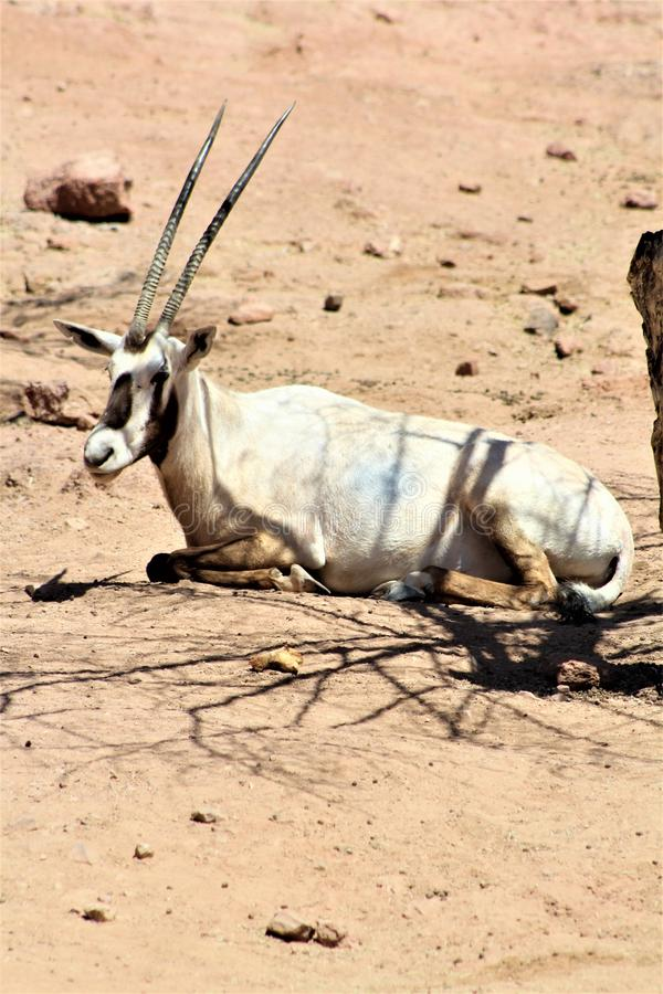 Arabian Oryx at Phoenix Zoo, Arizona Center for Nature Conservation, Phoenix, Arizona, United States. Arabian Oryx at the Phoenix Zoo, Center for Nature royalty free stock image