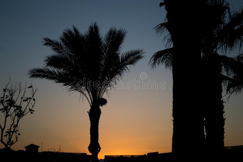 Arabian palm tree silhouette during sunset stock images