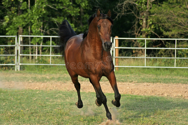 Arabian running stock photography