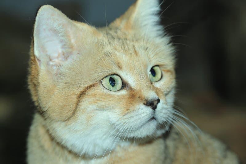 Arabian sand cat. The closeup of arabian sand cat stock photo