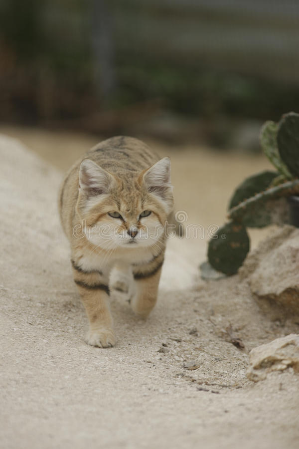 Arabian sand cat, Felis margarita harrisoni stock photos