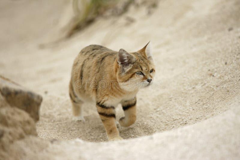 Arabian sand cat, Felis margarita harrisoni royalty free stock photo
