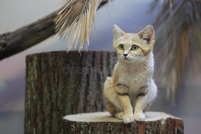 Arabian sand cat. The arabian Sand cat sitting on the stub stock photography