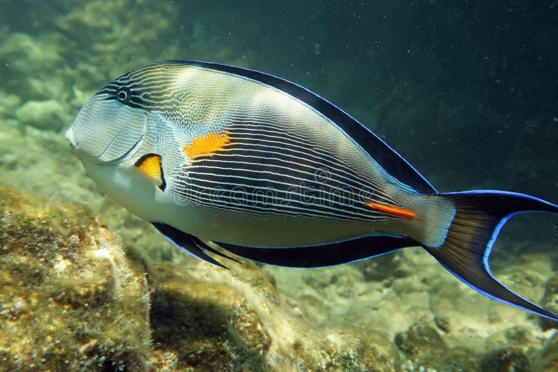 Arabian sohal surgeon fish stock image