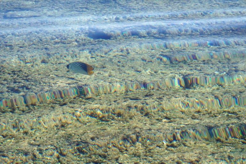 Arabian sohal surgeon fish in the natural environment, Red Sea royalty free stock photo