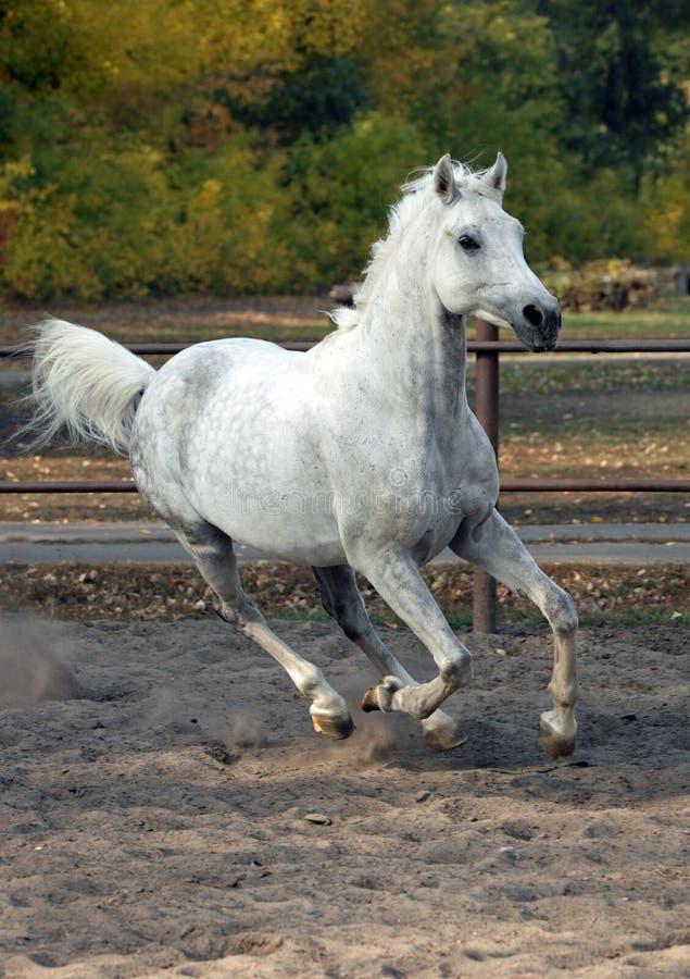 Arabian sportive breed horse in autumn farm royalty free stock photo