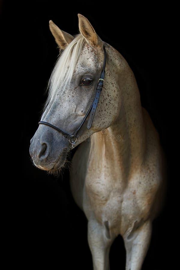 Arabian stallion on the black background. royalty free stock images