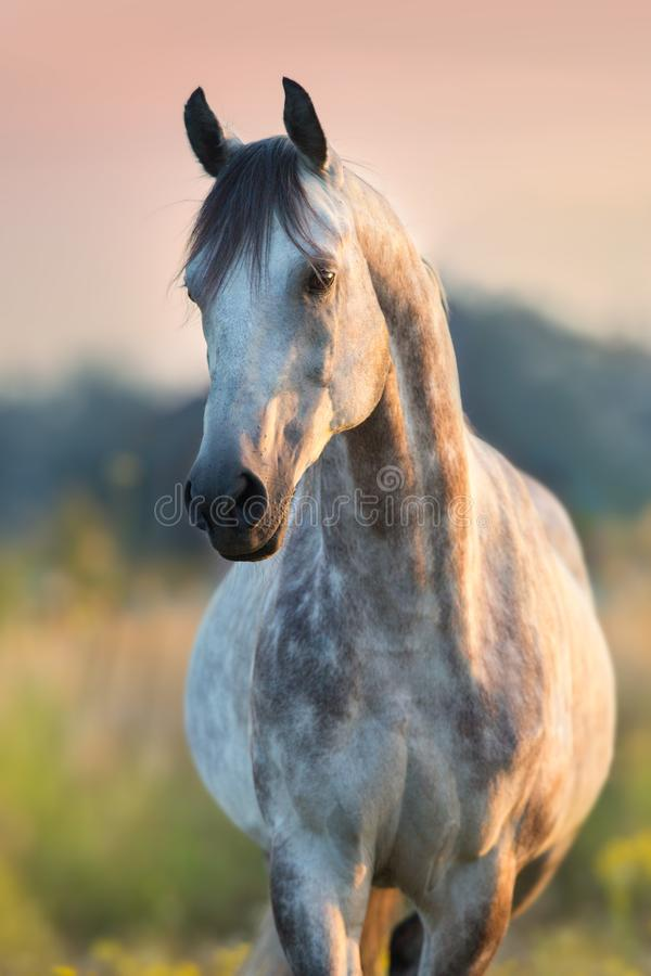 Arabian stallion portrait stock images