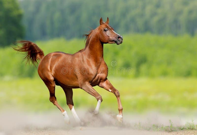 Download Arabian stallion stock photo. Image of motion, gallop - 42246604