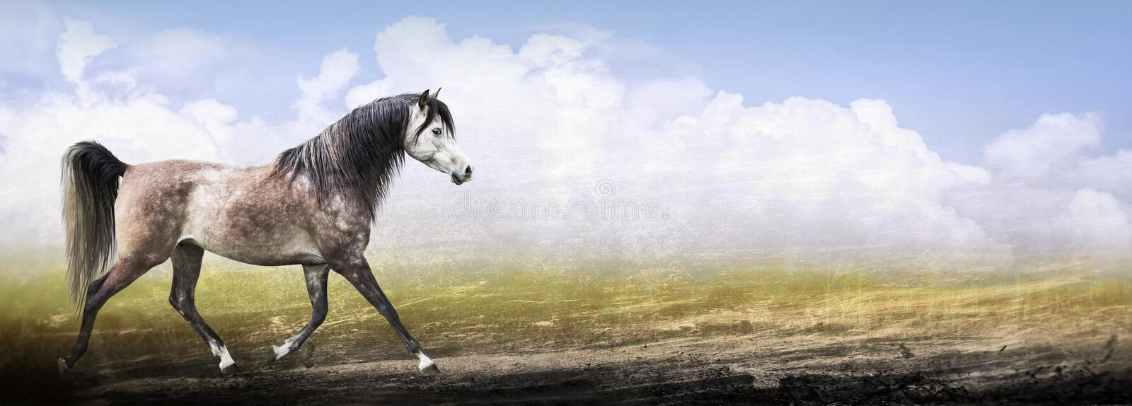 Arabian thoroughbred horse running trot , banner. Arabian thoroughbred horse running trot on nature background , banner royalty free stock photography