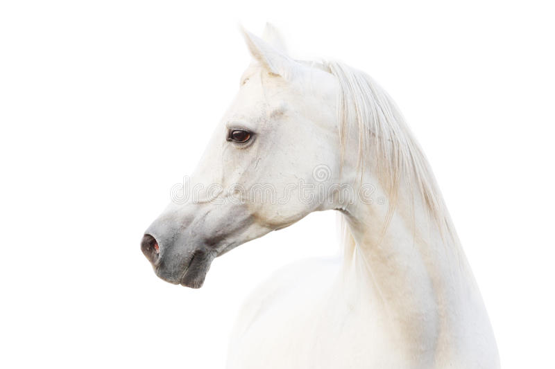 Arabian white horse royalty free stock image