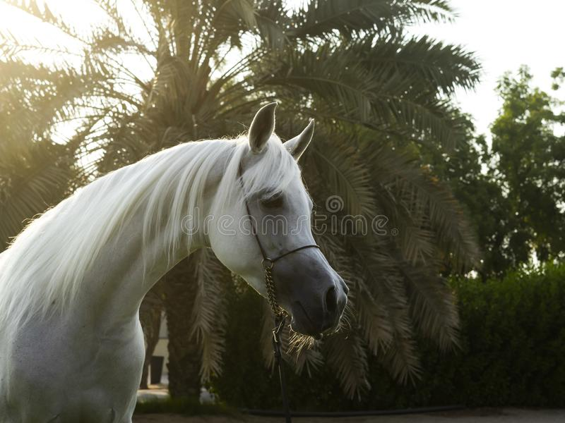 Arabian White horse in the garden stock photo