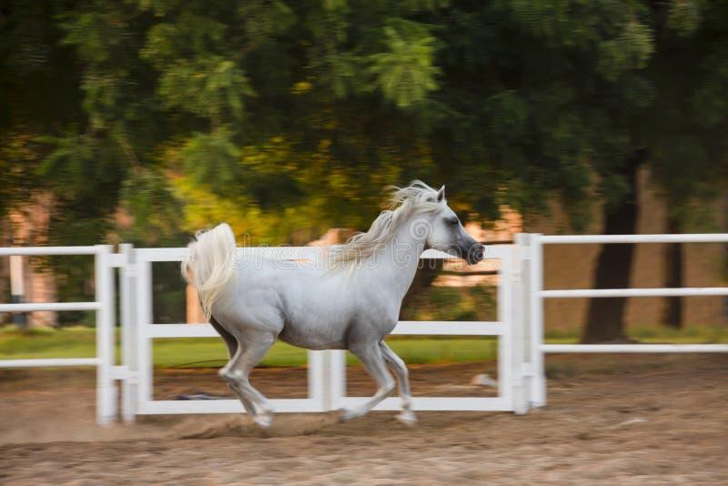 Arabian White horse in the garden royalty free stock image