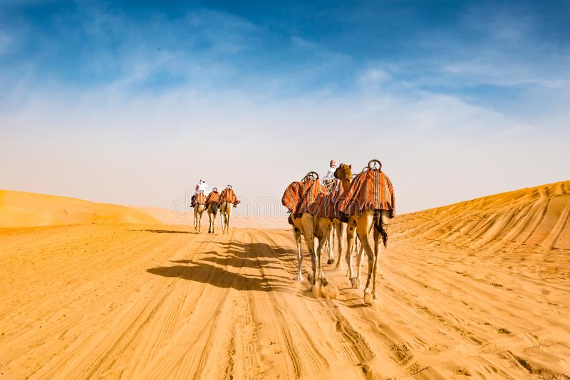 Arabic camels in desert of Abu Dhabi, U.A.E., guided dromedaries. Arabic camel leader riding camels in desert of Abu Dhabi, U.A.E stock photos