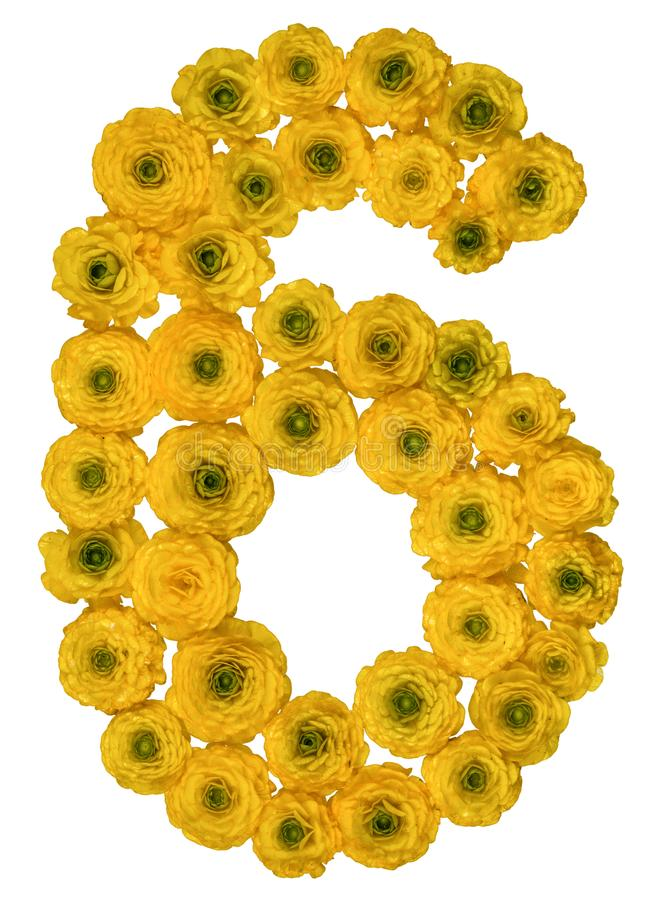Arabic numeral 6, six, from yellow flowers of buttercup, isolate. D on white background royalty free stock image