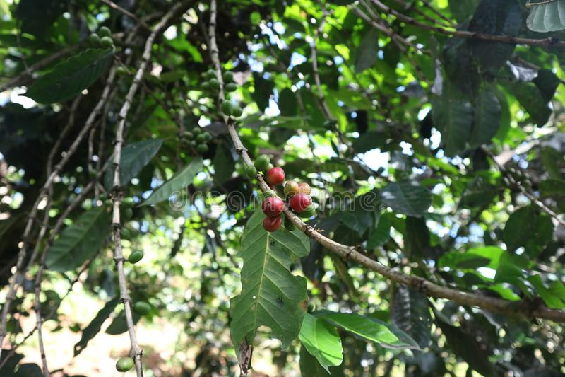 Arabica και robusta δέντρο στη φυτεία coffe Κεράσι, φρούτα στοκ εικόνες