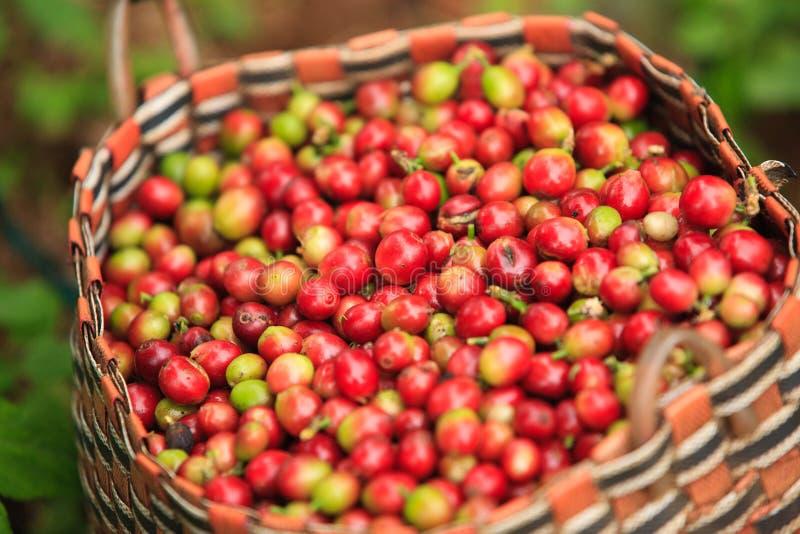 Arabica μούρα καφέ στο καλάθι στο οροπέδιο Bolaven στοκ εικόνα με δικαίωμα ελεύθερης χρήσης