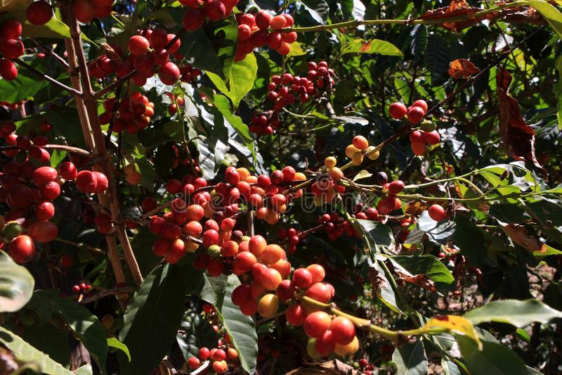 Arabica Coffee, Beans from Ethiopia. Arabica coffee beans turning red on the shores of lake Tana. Lake Tana, Ethiopia, East Africa stock photo