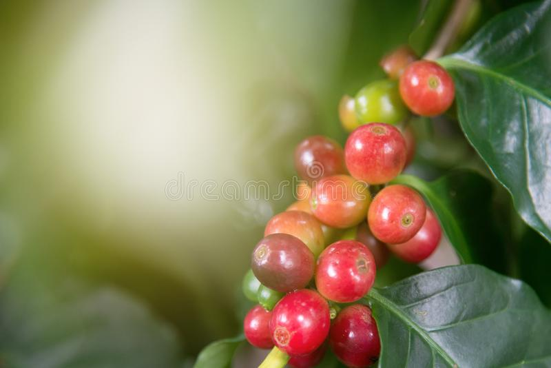 Arabica coffee plant in agriculture farm.Coffee beans ripening on tree in North of thailand.Group of ripe and raw coffee berries stock images