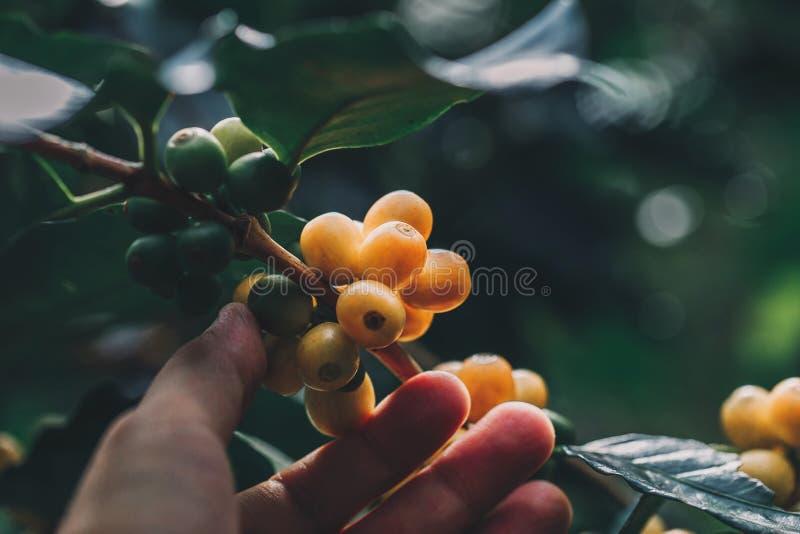 Arabica de koffiebonen kleuren gele CatiMor rijpend op boom royalty-vrije stock afbeeldingen