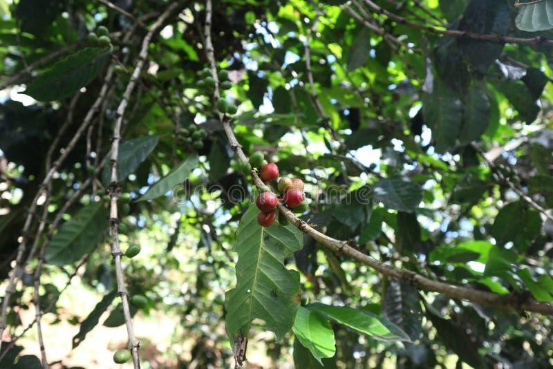 Arabica en robusta boom in coffeaanplanting Kers, fruit stock foto