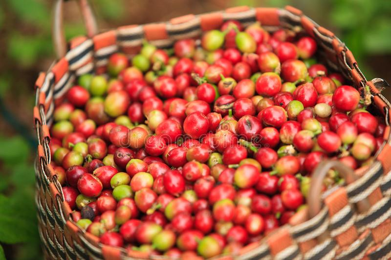 Arabica koffiebessen in mand op Bolaven-Plateau royalty-vrije stock afbeelding