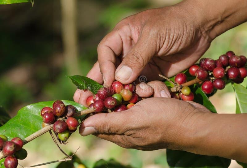 Arabica koffiebessen op handen stock fotografie