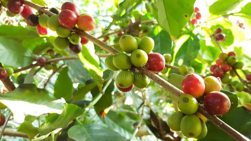 Arabica koffieboom met koffieboon in de selectieve nadruk van de koffieaanplanting royalty-vrije stock foto's
