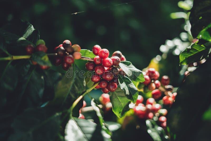 Arabica rojo de los granos de café de la cereza en naturaleza imágenes de archivo libres de regalías