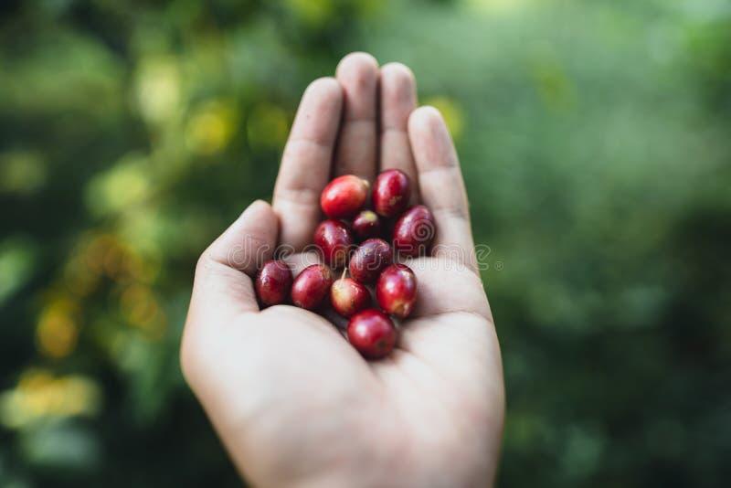 Arabica rouge de grains de café de cerise en nature photographie stock libre de droits