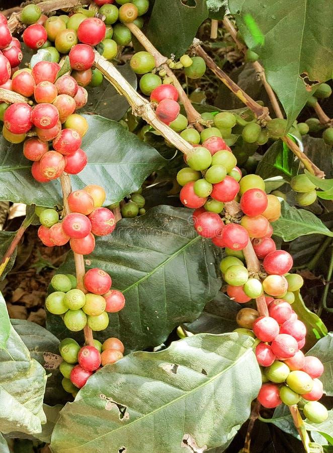 ArabicaKaffeebaum mit Kaffeebohne in der Caféplantage lizenzfreie stockfotos