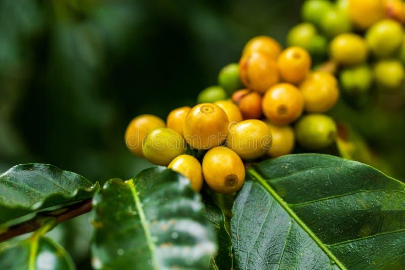 ArabicaKaffeebohnen färben gelbes CatiMor, das auf Baum reift stockbild