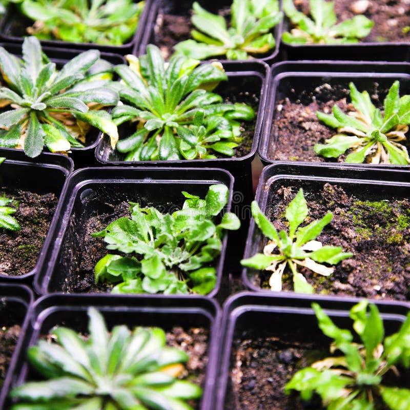 Arabidopsis lizenzfreies stockfoto