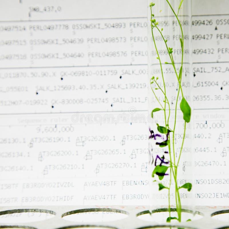 Arabidopsis Anlagen stockbilder