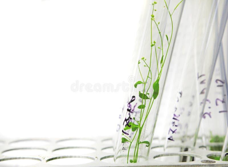 Arabidopsis Anlagen lizenzfreie stockfotografie