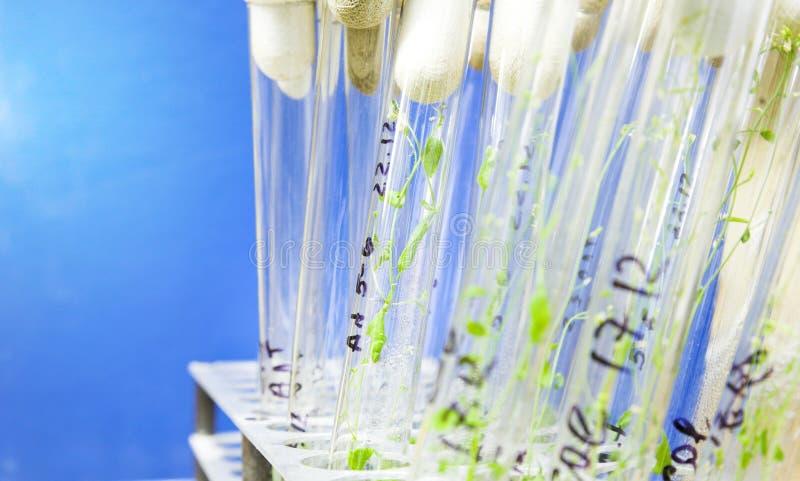Arabidopsis Anlagen stockfotos