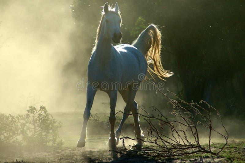 Arabisch paard royalty-vrije stock afbeelding