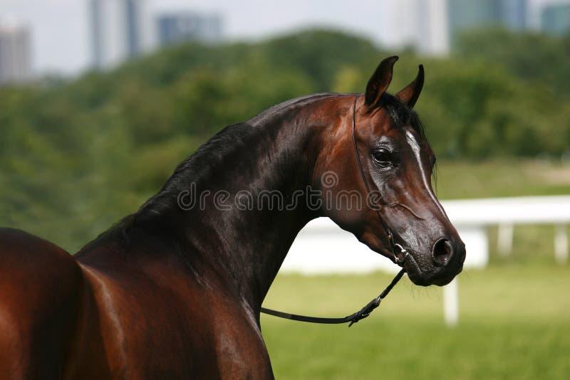 Arabisch paard stock foto