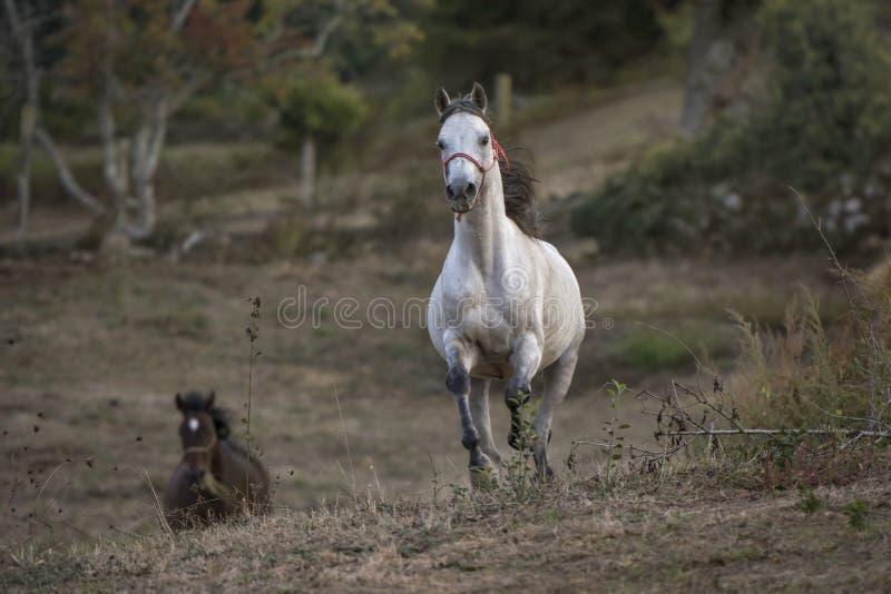 Arabisch paard die naar de camera galopperen stock fotografie