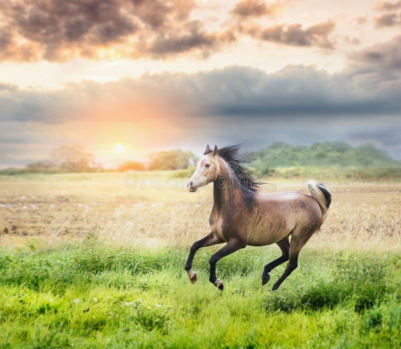 Arabisch paard die op zonnige weide op zonsondergang lopen stock fotografie