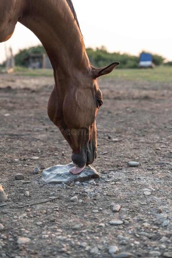 Arabisch paard die zout likken stock afbeelding