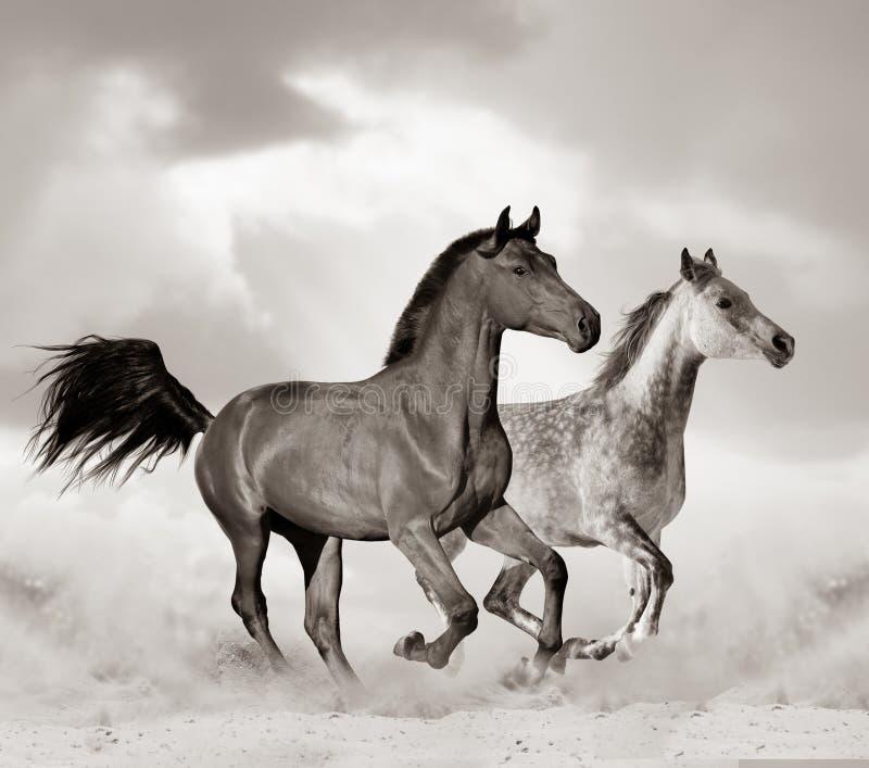 Arabisch paard in woestijn royalty-vrije stock foto's