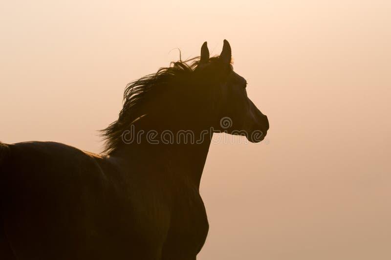 Arabisch paardsilhouet op de gouden hemel stock foto's