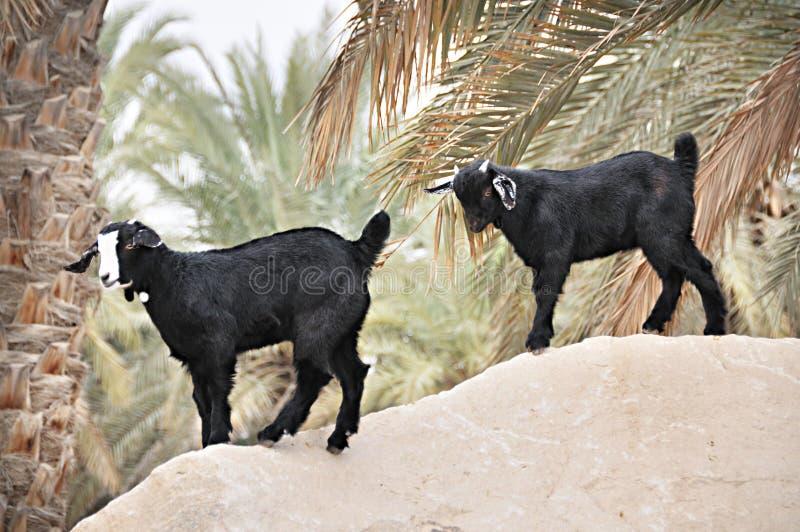 Arabische Geiten dichtbij door Palm royalty-vrije stock fotografie