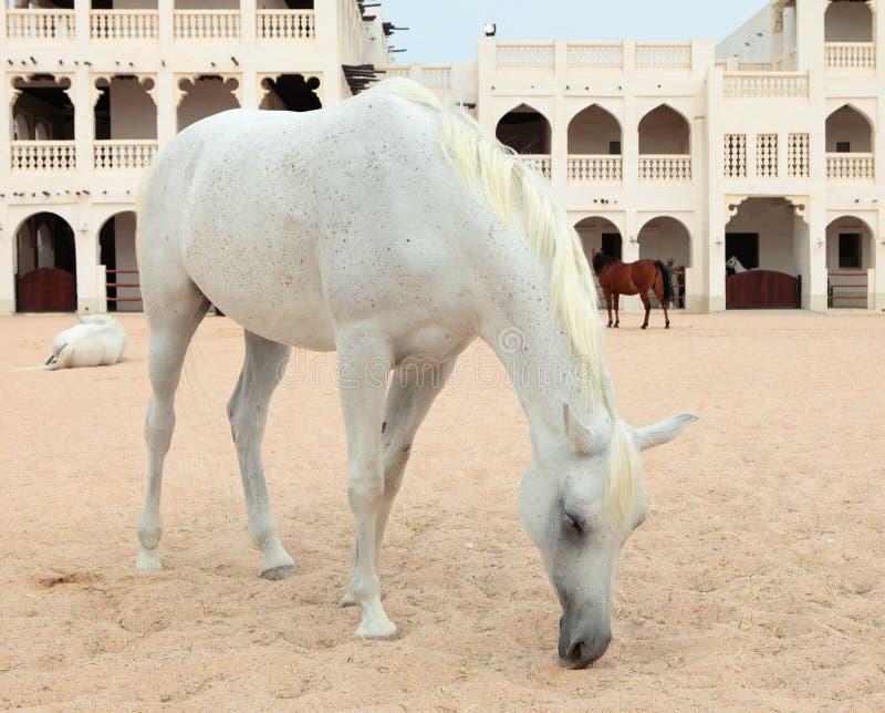 Arabische paarden in Doha, Qatar stock foto